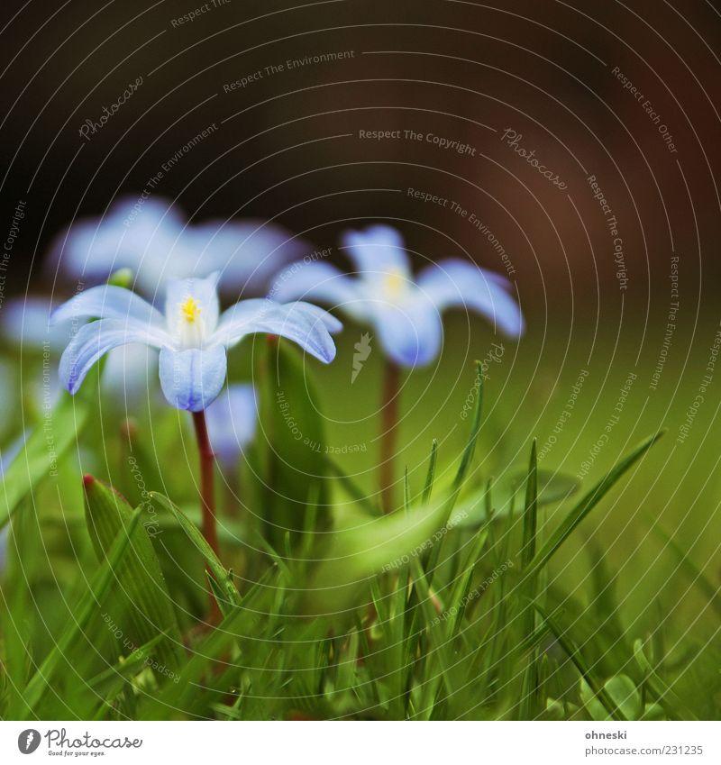 Frühling Natur Pflanze Blume Gras Blüte violett zart Beginn Farbfoto Nahaufnahme Textfreiraum oben Schwache Tiefenschärfe Stengel Makroaufnahme Menschenleer