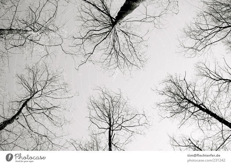 Adern der Luft Umwelt Natur Landschaft Pflanze Himmel Wolkenloser Himmel Herbst Baum Wildpflanze Wald ästhetisch dunkel dünn authentisch groß hoch grau schwarz