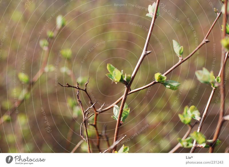 frisches Grün Natur Pflanze grün Blatt Umwelt Frühling braun Wachstum Kraft Sträucher Beginn Lebensfreude Wandel & Veränderung Hoffnung Jahreszeiten Zweig