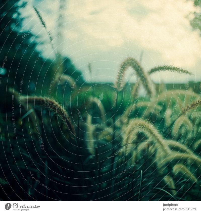 Gräser Natur Pflanze Sommer Gras Sträucher Wildpflanze Erholung frei frisch Unendlichkeit weich grün schwarz weiß Leichtigkeit Ferne Farbfoto Gedeckte Farben