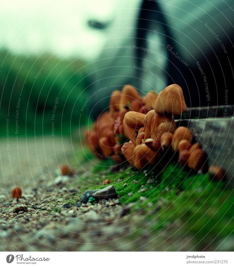 Pilze vor Auto Natur Herbst Pilzhut Wege & Pfade PKW braun grau grün Gift Umwelt Farbfoto mehrfarbig Außenaufnahme Detailaufnahme Menschenleer Tag Sonnenlicht