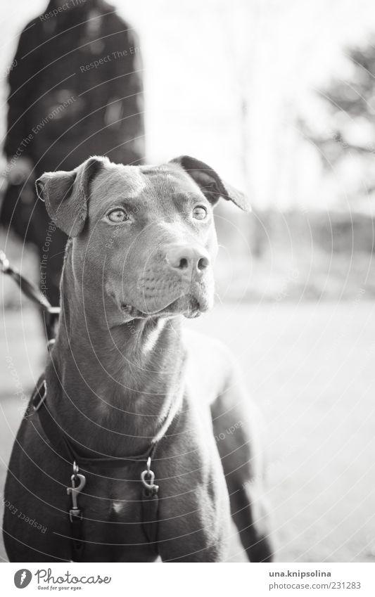 hundnase maskulin 1 Mensch Tier Haustier Hund beobachten gehen Spaziergang Gassi gehen Hundeblick Hundekopf Hundeschnauze Wachsamkeit Blick nach vorn