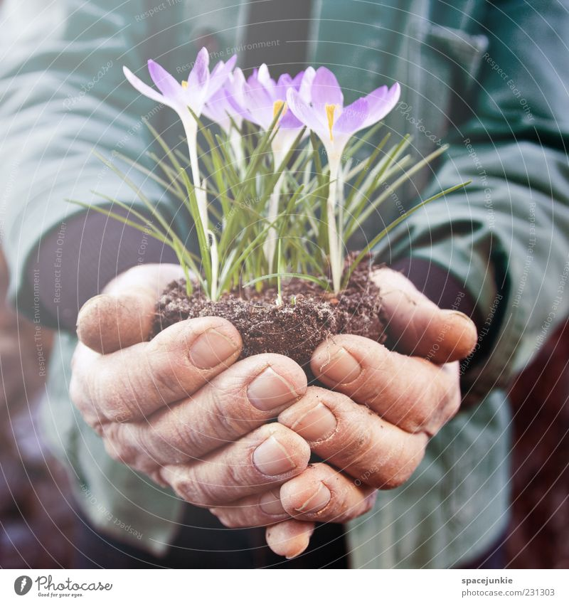 Krokus maskulin Mann Erwachsene Hand 1 Mensch 60 und älter Senior Natur Frühling Pflanze Blüte Arbeit & Erwerbstätigkeit grün violett Schutz Krokusse Gärtner