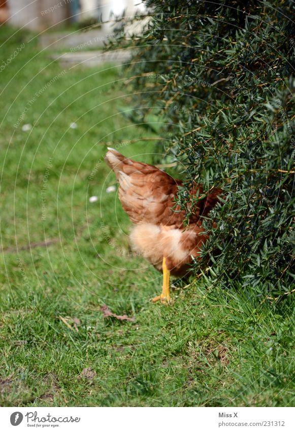 Hilfe ein Fuchs kommt Natur Gras Sträucher Garten Tier Nutztier Vogel 1 Neugier braun grün verstecken Haushuhn Hahn flüchten Farbfoto mehrfarbig Außenaufnahme