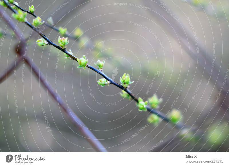 Hinter Gittern Natur Frühling Pflanze Sträucher Blatt Wachstum Zaun Maschendraht Maschendrahtzaun Blütenknospen Blattknospe Farbfoto Außenaufnahme Nahaufnahme