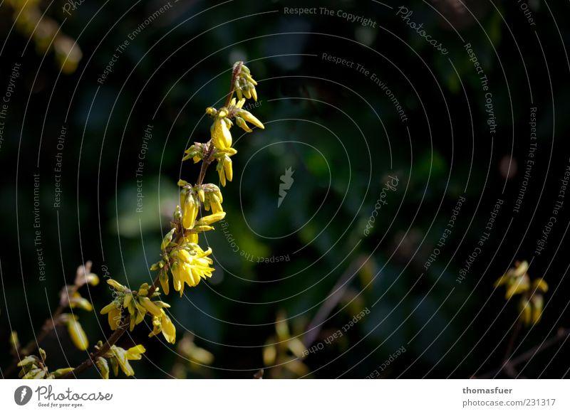 endlich Frühling Natur grün schön Pflanze gelb Blüte Stimmung Sträucher Zweig Frühlingsgefühle Forsithie Wildpflanze Forsythienblüte