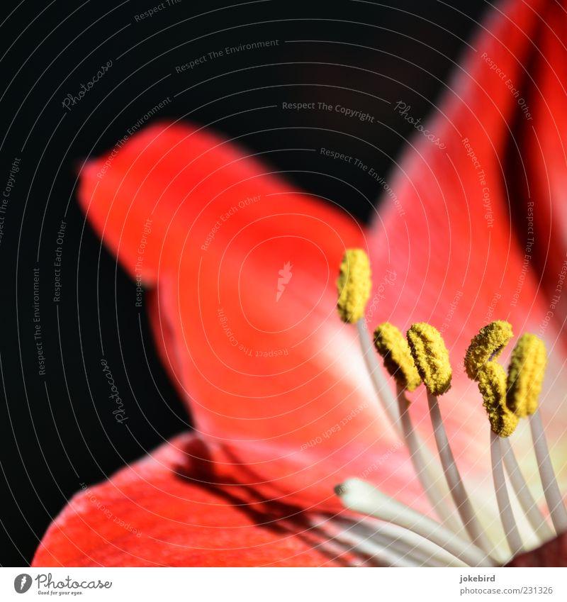 Ritterstern Pflanze Blüte Staubfäden Pollen Blütenblatt Blütenpflanze Amaryllisgewächse gelb rot schwarz weiß zart mehrfarbig Innenaufnahme Menschenleer