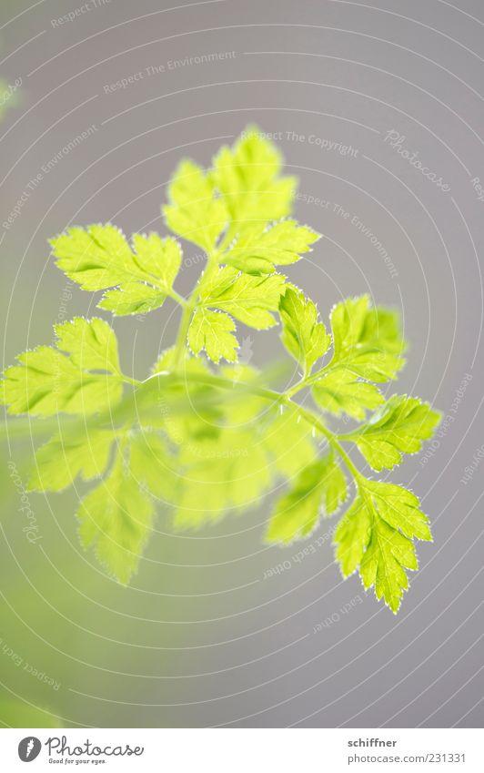 Sträußchen Grünes Pflanze Grünpflanze Nutzpflanze grün Kräuter & Gewürze Kerbel zartes Grün Blattgrün Küchenkräuter Innenaufnahme Menschenleer Unschärfe