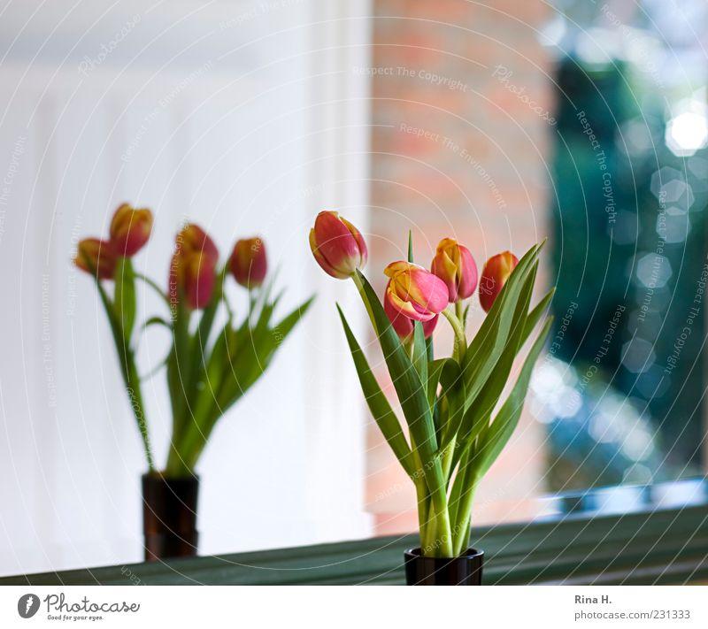 Ausblick grün rot Spiegel Blumenstrauß Tulpe Pflanze