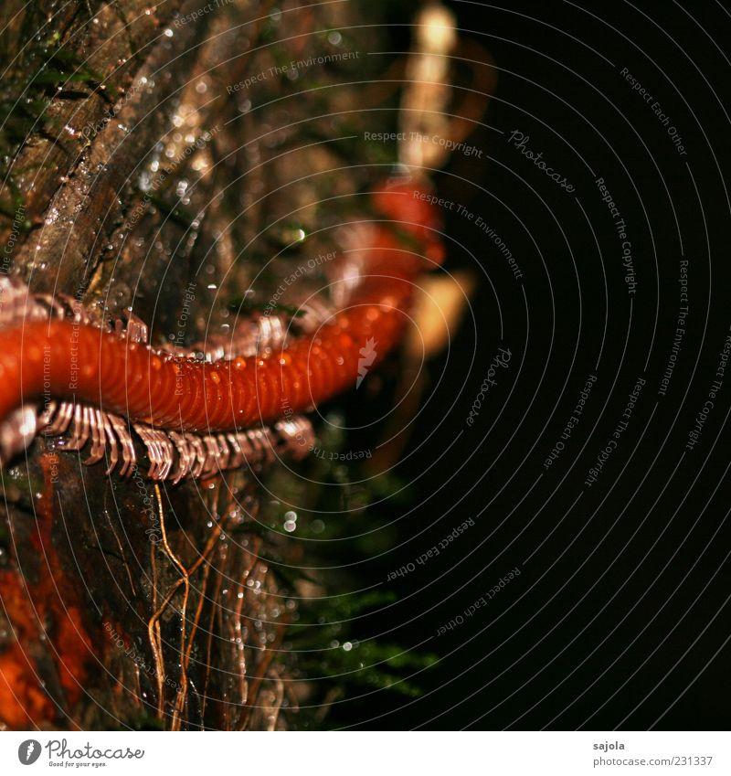 tausendsassa Baum rot Tier orange Wildtier Wassertropfen Insekt krabbeln Baumrinde Pflanze Tausendfüßler