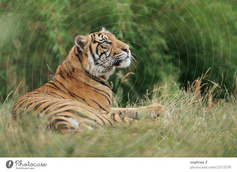 Sibirischer Tiger im Gras liegend, den Kopf hebend und entspannend, Zoobesuch Lügen entspannt wild Kühlung Tier Tierpark Feld anluven gefährdet Wildkatze Tiere