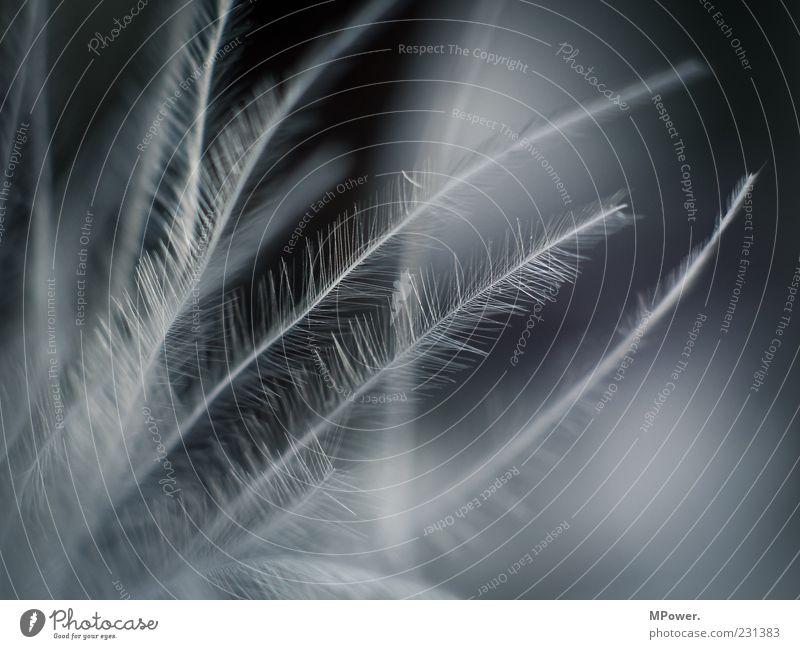 gefedert blau schwarz weiß Feder Härchen Unschärfe vergrößert fein weich leicht luftig Schwarzweißfoto Makroaufnahme Strukturen & Formen Schwache Tiefenschärfe