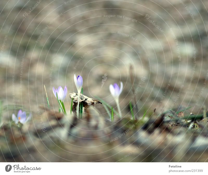 Neulich im Wald Natur Pflanze Blume Blatt Umwelt Landschaft Blüte Frühling hell natürlich Urelemente Waldboden Krokusse Wildpflanze Frühblüher