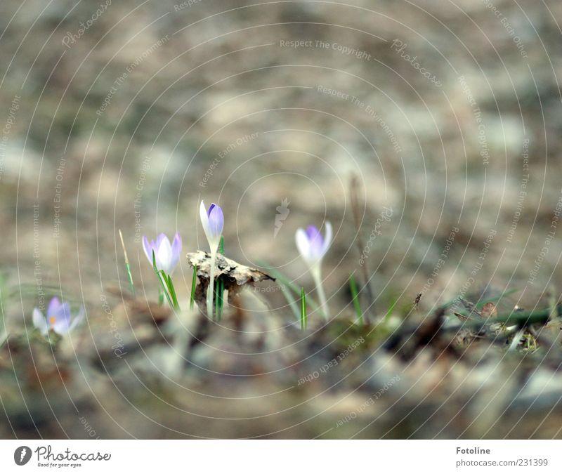 Neulich im Wald Umwelt Natur Landschaft Pflanze Urelemente Frühling Blume Blatt Blüte Wildpflanze hell natürlich Krokusse Frühblüher Waldboden Farbfoto