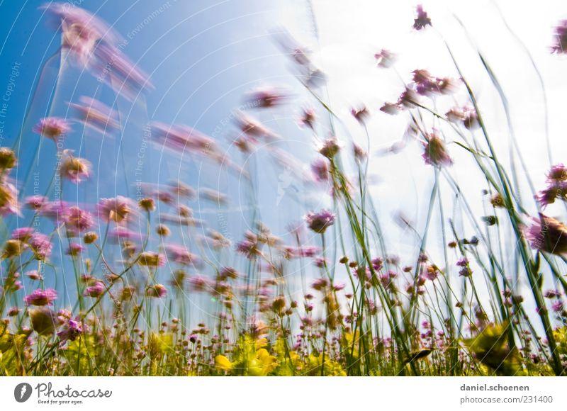 im Wind wogendes Schnittlauch Pflanze Sonne Sommer gelb Wiese Bewegung Gras natürlich violett Schönes Wetter Blumenwiese Wolkenloser Himmel Natur