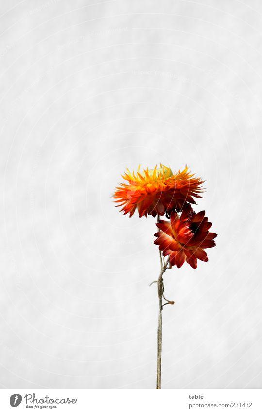 stick together grün weiß schön rot Pflanze Blume gelb Blüte orange gold natürlich ästhetisch Dekoration & Verzierung trocken Stengel Blütenblatt
