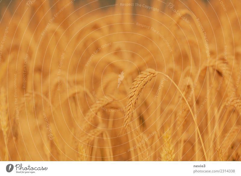 Triticale Umwelt Natur Landschaft Pflanze Sommer Nutzpflanze Wiese Feld natürlich gelb gold Roggen Weizen Weizenfeld Roggenfeld Zwitter Mischung reif