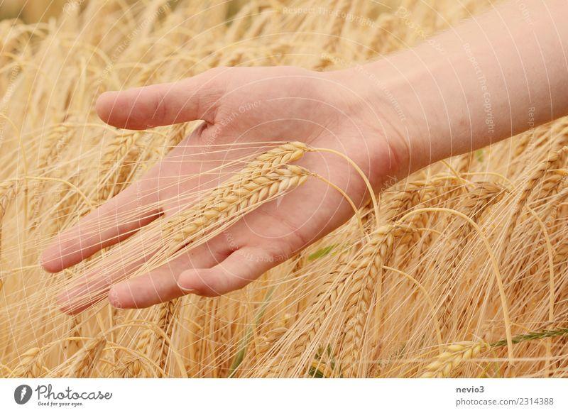 Gerste schön Mensch Hand 1 gelb Gerstenfeld Gerstenähre Getreide Getreidefeld Getreideernte Ernte Erntedankfest Natur Landwirt Landwirtschaft Gold