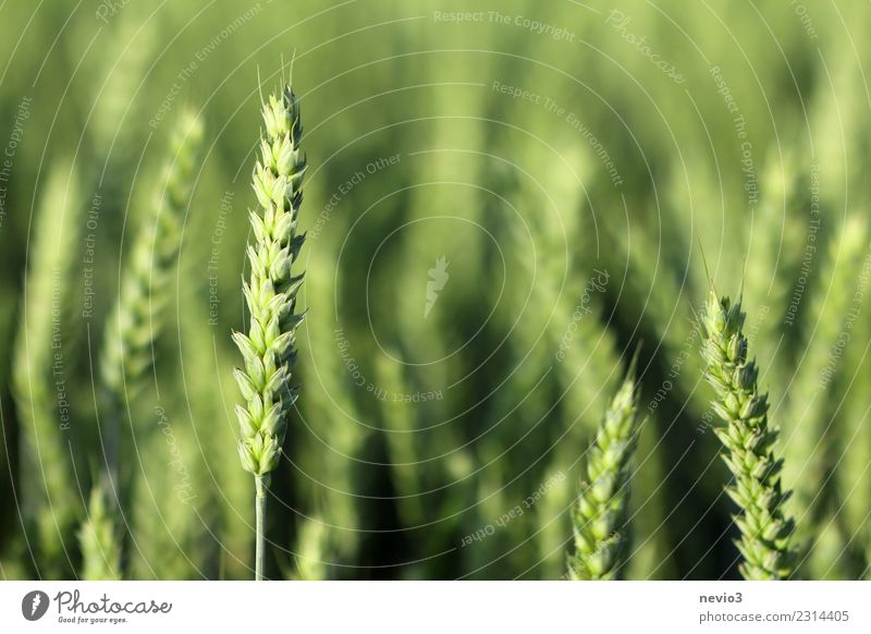 Weizen Sommer Umwelt Natur Landschaft Pflanze Frühling Gras Blatt Nutzpflanze Wiese Feld Arbeit & Erwerbstätigkeit gelb grün Wachstum Korn Kornfeld Getreidefeld