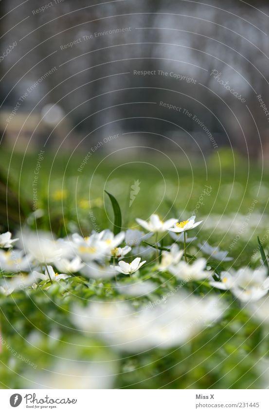 Frühlingwiese Natur weiß Blume grün Pflanze Blatt Wiese Blüte Gras Garten Park klein Wachstum mehrere Blühend