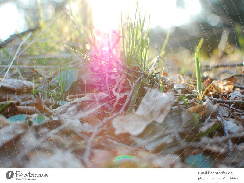 Durchbruch Natur grün Pflanze Sommer Blatt Leben Gras Frühling Holz Luft Stimmung braun hell rosa Umwelt Beginn