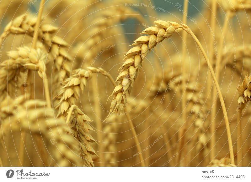 Weizenähren im Hochsommer Sommer Sonne Umwelt Natur Pflanze Gras Nutzpflanze Wiese Feld gelb gold Gefühle Freude Vorfreude ländlich auf dem Land Landschaft