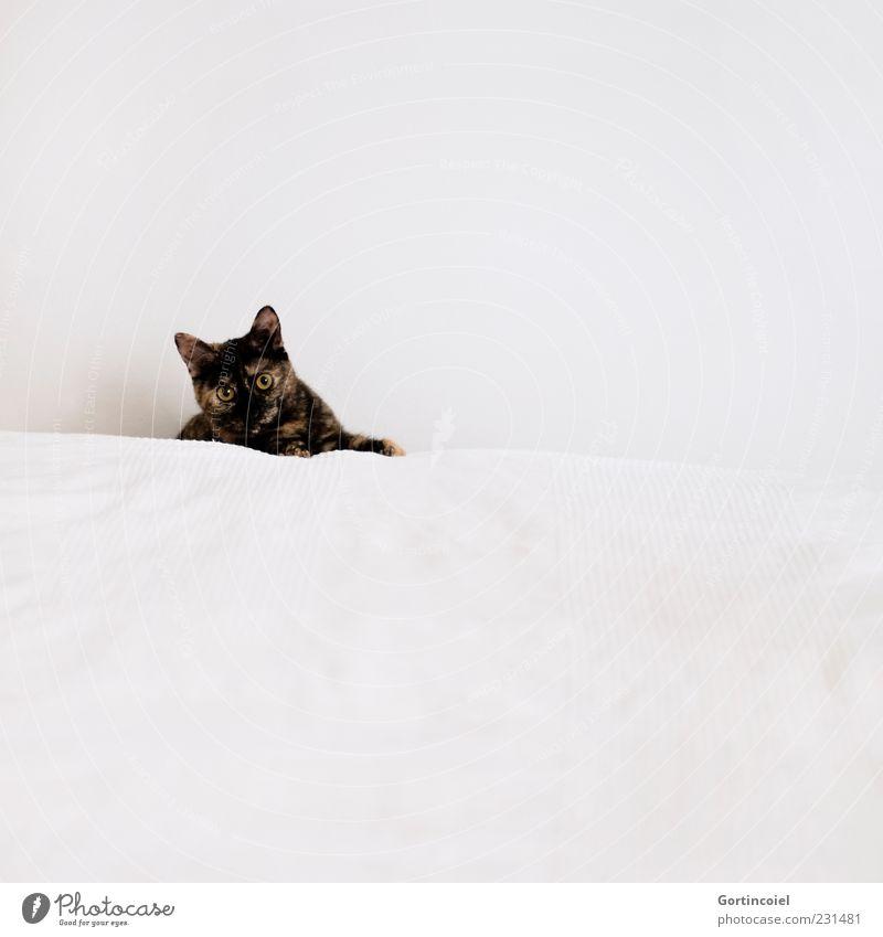 Huhu Tier Haustier Katze Tiergesicht Fell 1 hell niedlich weiß Bett Farbfoto Gedeckte Farben Innenaufnahme Textfreiraum rechts Textfreiraum oben