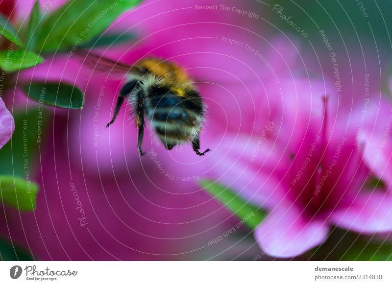Bumblebee Umwelt Natur Pflanze Blume Blatt Blüte Rhododendron Garten Park Tier Hummel 1 Bewegung Blühend Duft fliegen genießen leuchten grün orange rosa schwarz