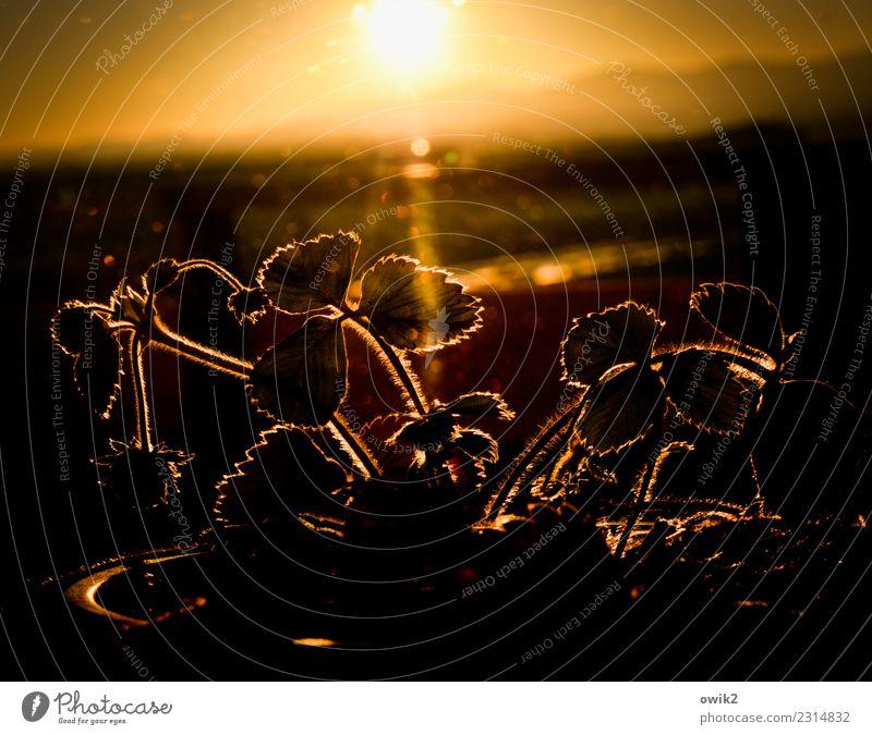 Vorgeschmack Umwelt Natur Pflanze Himmel Horizont Sommer Schönes Wetter Wärme Blatt Topfpflanze Erdbeeren Berge u. Gebirge Lausitzer Bergland Balkon glänzend