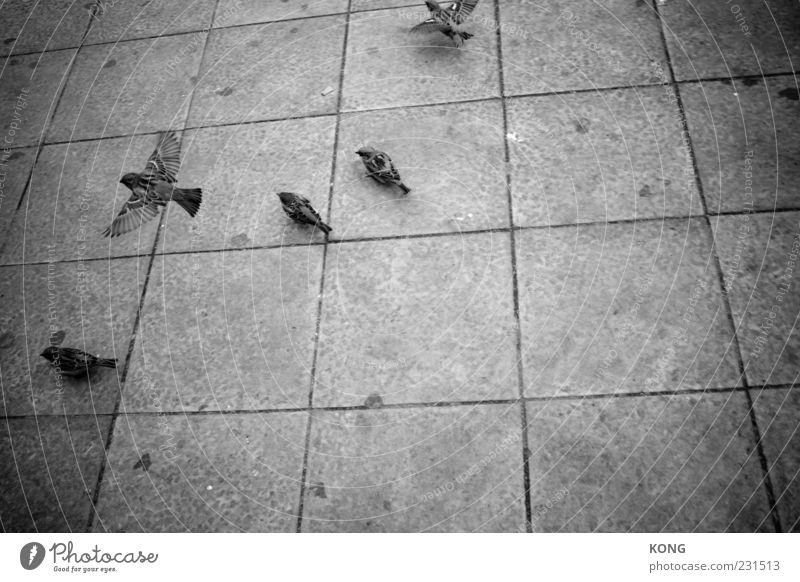 take off Tier Stein Vogel fliegen mehrere Flügel trist leicht Leichtigkeit Spatz Schwarzweißfoto Vogelflug Steinplatten Sperlingsvögel