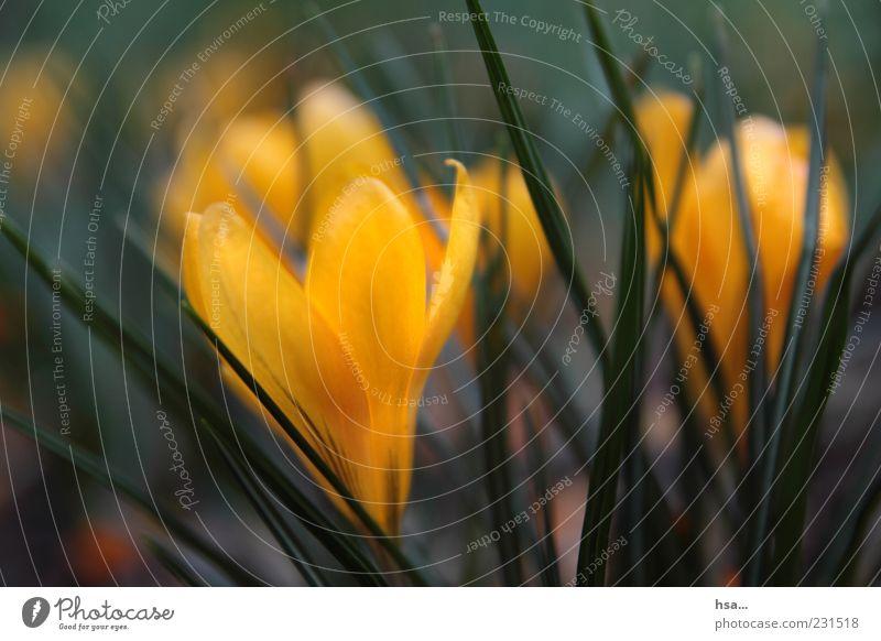 Frühblüher... Natur grün schön Pflanze Blume gelb Umwelt Blüte Frühling frisch ästhetisch Blütenblatt Frühlingsgefühle Krokusse Frühlingsblume Frühblüher