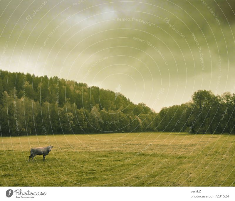 Ökuhlogie Umwelt Natur Landschaft Himmel Wolken Horizont Herbst Klima Wetter Schönes Wetter Pflanze Baum Gras Wiese Feld Wald Nutztier Kuh 1 Tier beobachten