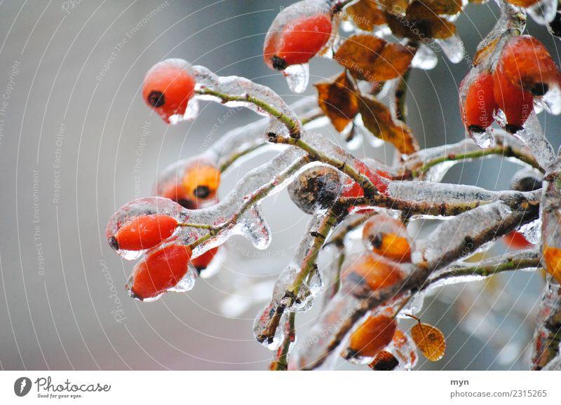 Frozen Pflanze Sträucher Grünpflanze frieren kalt rot Frühlingsgefühle Verzweiflung Hagebutten Marmelade gefroren Eiszapfen Eiskristall Wassertropfen Tropfen