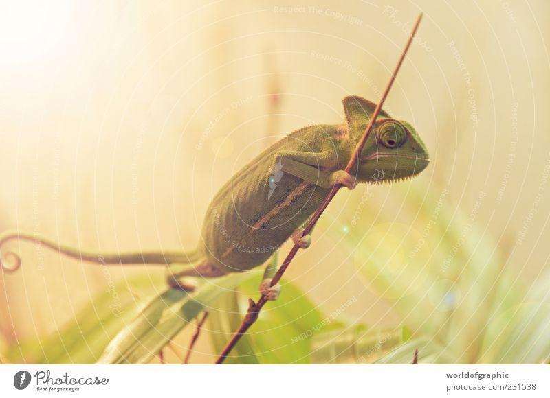 Green Chamäleon Tier Wildtier Zoo 1 ästhetisch außergewöhnlich exotisch klein braun grün Farbfoto Innenaufnahme Tag Reflexion & Spiegelung Gegenlicht