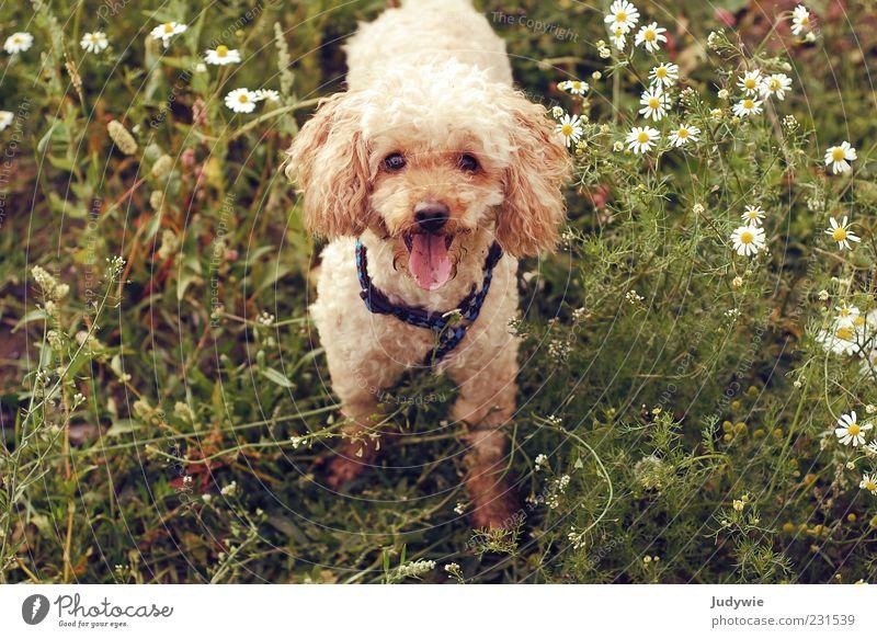 Was gibt's? Umwelt Natur Frühling Sommer Blume Gras Blüte Kamille Tier Haustier Hund Fell Pudel frech Fröhlichkeit niedlich braun grün gehorsam Farbfoto