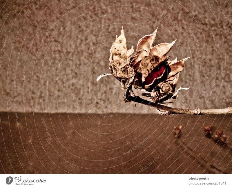 Hibiskus Natur Pflanze Blüte trocken braun ruhig Vergänglichkeit gedeckte Farben Außenaufnahme Detailaufnahme Menschenleer Textfreiraum links Textfreiraum unten