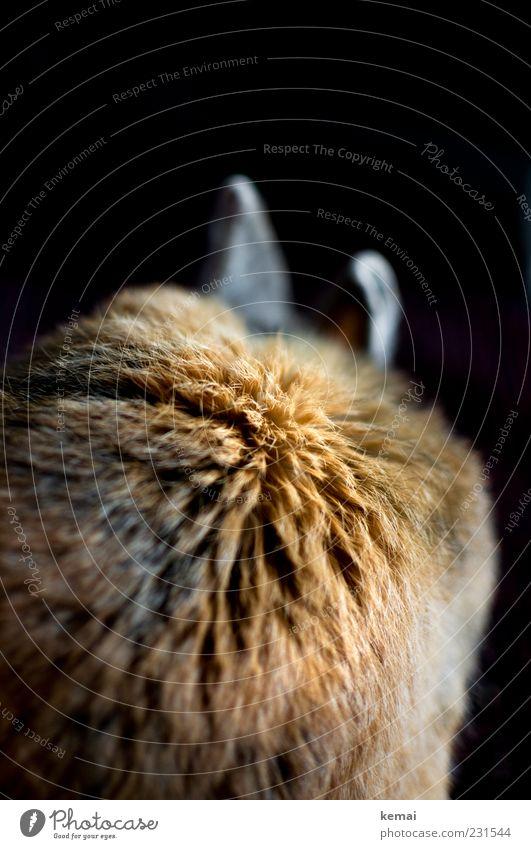 Fellball Tier sitzen Ohr brünett Hase & Kaninchen Haustier rothaarig Nahaufnahme Hasenohren Zwergkaninchen