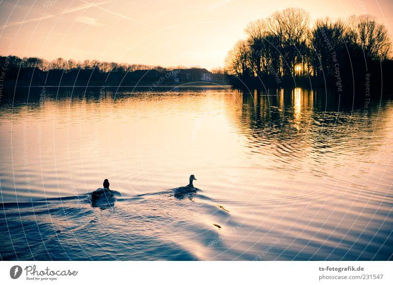 Schwimm nicht ins Licht !!!! Natur Landschaft Tier Wasser Himmel Sommer Schönes Wetter Seeufer Flussufer Teich Ente Entenvögel Stockente 2 Tierpaar schön gelb