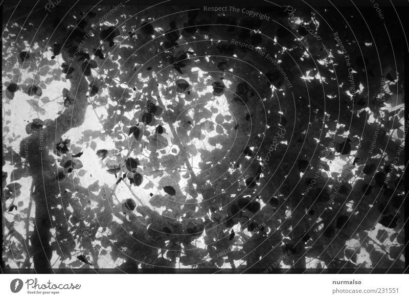 nicht genau genug Umwelt Natur Sommer Pflanze Baum Blatt natürlich ästhetisch abstrakt Schwarzweißfoto Muster Morgen Kontrast Silhouette Reflexion & Spiegelung
