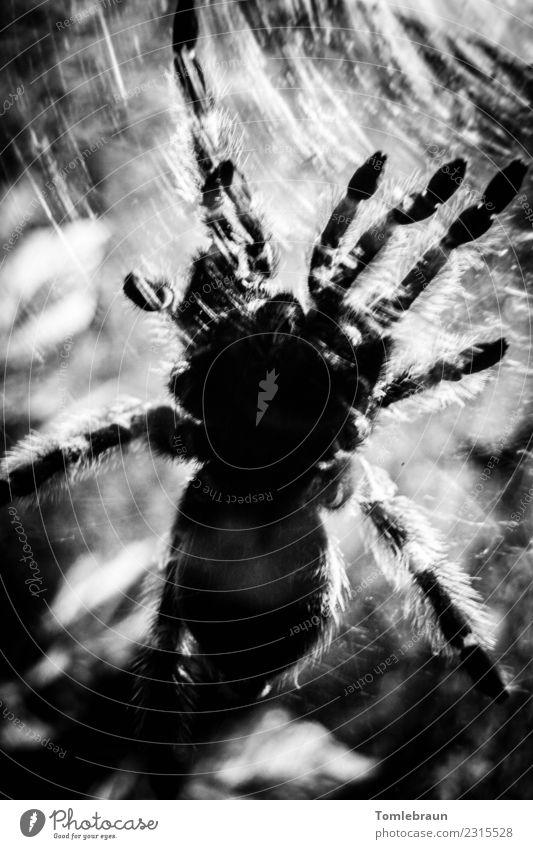 Vernetzt exotisch Zoo Behaarung Spinne 1 Tier Arbeit & Erwerbstätigkeit bauen krabbeln bedrohlich elegant groß gruselig nah schwarz weiß Kraft Angst gefährlich