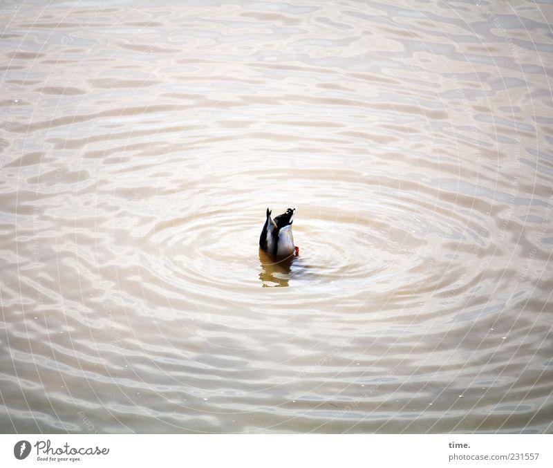 Looking For Adventure Wellen tauchen Tier Wasser Vogel Ente 1 füttern Jagd Bewegung Freude Kraft Problemlösung Mittelpunkt Natur Selbstständigkeit Überleben