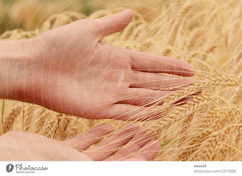 Gerstenähren in den Händen eines Landwirts Sommer Landwirtschaft Forstwirtschaft Handwerk Mensch maskulin Arme 1 Umwelt Natur Pflanze Nutzpflanze Wiese Feld