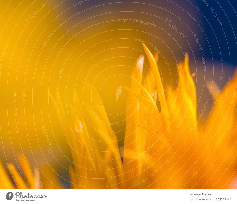gelb blau Pflanze Frühling Sommer Blüte Strauß Blatt Freundlichkeit hell natürlich orange Stimmung Wärme Schwache Tiefenschärfe Unschärfe Schärfenverlauf