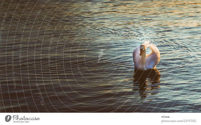 Schwan auf dem Zürichsee Umwelt Natur Klima Klimawandel Wetter See Tier Wildtier Tiergesicht Flügel 1 beobachten Bewegung glänzend Schwimmen & Baden authentisch