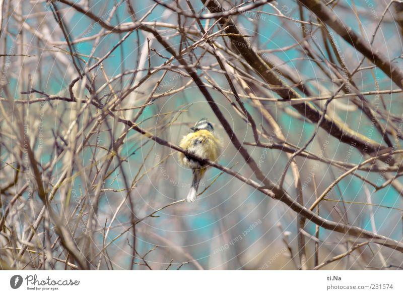 explodiertes Kissen Natur blau Tier gelb klein Vogel sitzen Wildtier niedlich Feder Zweig Meisen