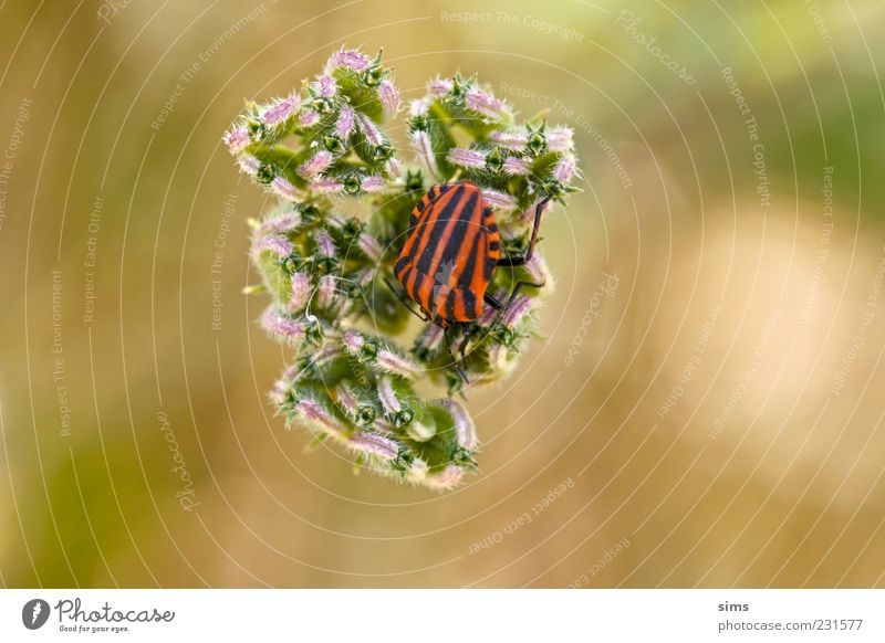 Beetle Natur rot Pflanze schwarz ruhig Farbe Landschaft einzigartig Käfer gestreift Grünpflanze Makroaufnahme Wildpflanze