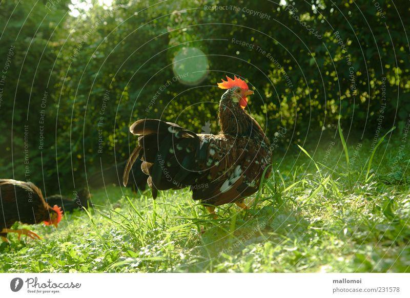Junger Hahn auf Wiese ökologisch artgerecht Freilandhaltung Bioprodukte freilaufend Biologische Landwirtschaft Stolz Umwelt Hahnenkamm Federvieh natürlich