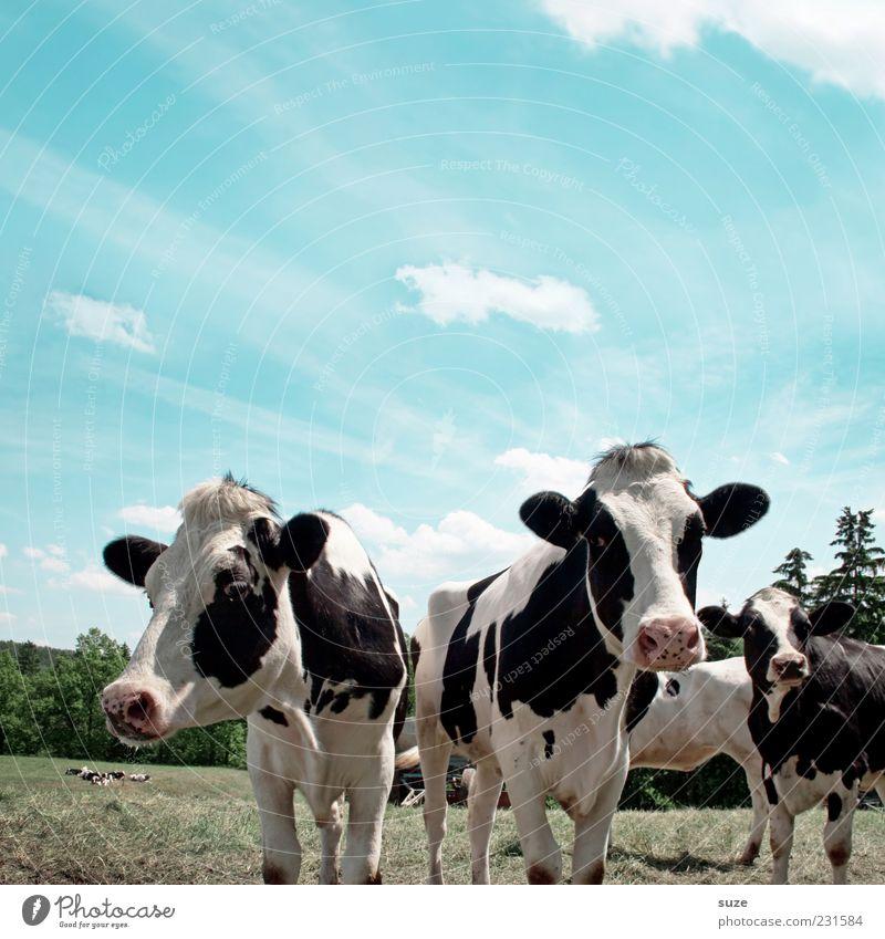 Ben & Jerrys Himmel Natur Tier Wiese Umwelt natürlich Tiergruppe Neugier Fell Weide Schönes Wetter Kuh Bioprodukte Biologische Landwirtschaft Tierzucht Alm