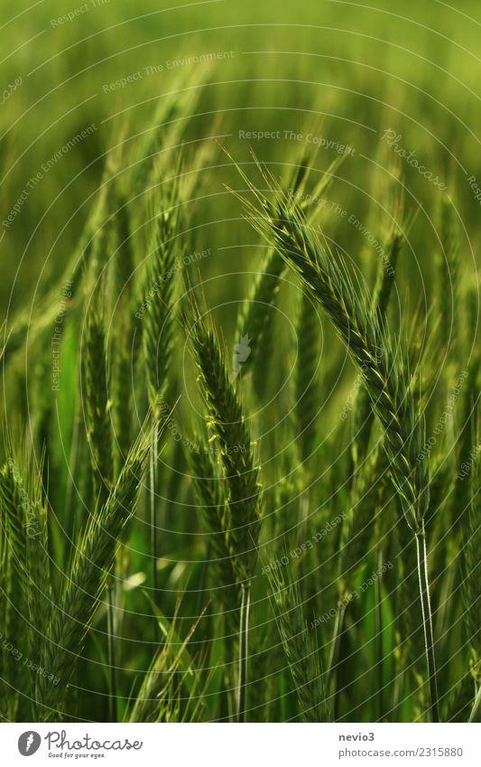 Triticale Umwelt Natur Landschaft Pflanze Frühling Sommer Nutzpflanze Wiese Feld grün Leben Weizenfeld Weizenähre Weizenkörner Roggenfeld Roggenähren Zwitter