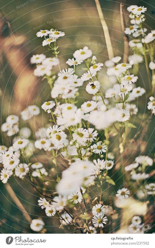 Kamille Natur weiß Pflanze Blume natürlich Kamille Nutzpflanze Kamillenblüten